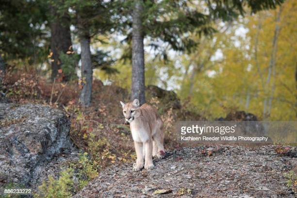 Mountain Lion in Montana Fall Colors