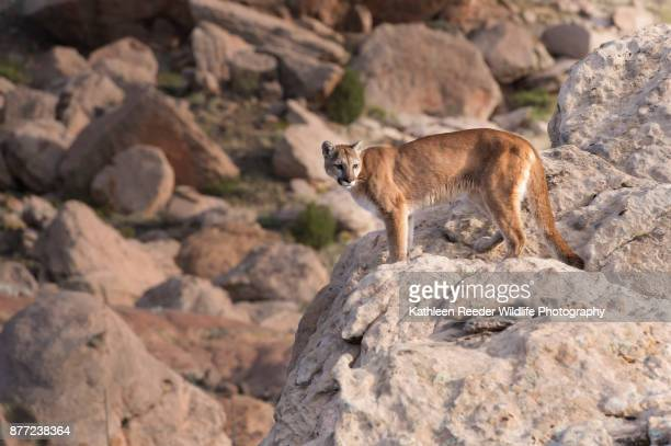 mountain lion in montana - puma stock photos and pictures