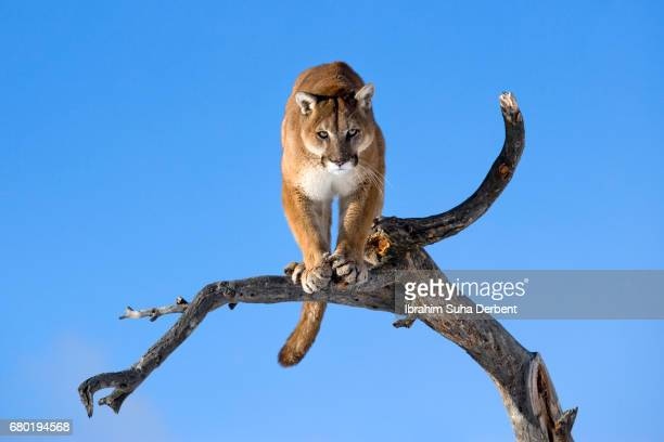 mountain lion is standing on deadwood and looking camera angrily - animals attacking stock pictures, royalty-free photos & images