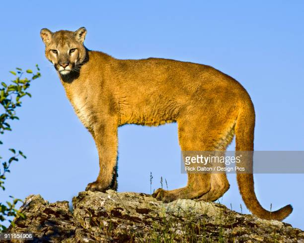Mountain Lion (Puma Concolor) On Rocks, Captive, Controlled Conditions