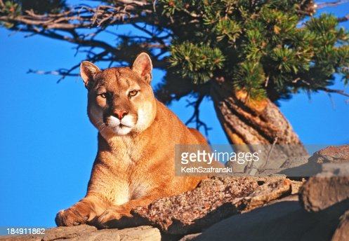 Mountain Lion On Rocky Ledge High-Res Stock Photo - Getty ...