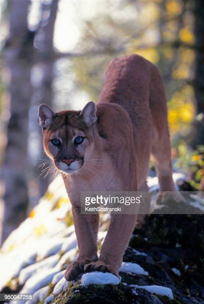mountain lion on rocky outcropping - puma stock photos and pictures