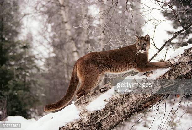 Mountain Lion on Snowy Tree Trunk