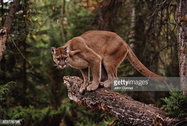 mountain lion on tree stump - puma stock photos and pictures