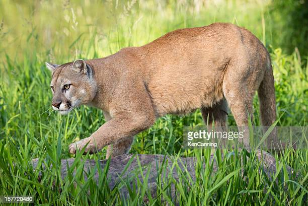 mountain lion - puma stock photos and pictures