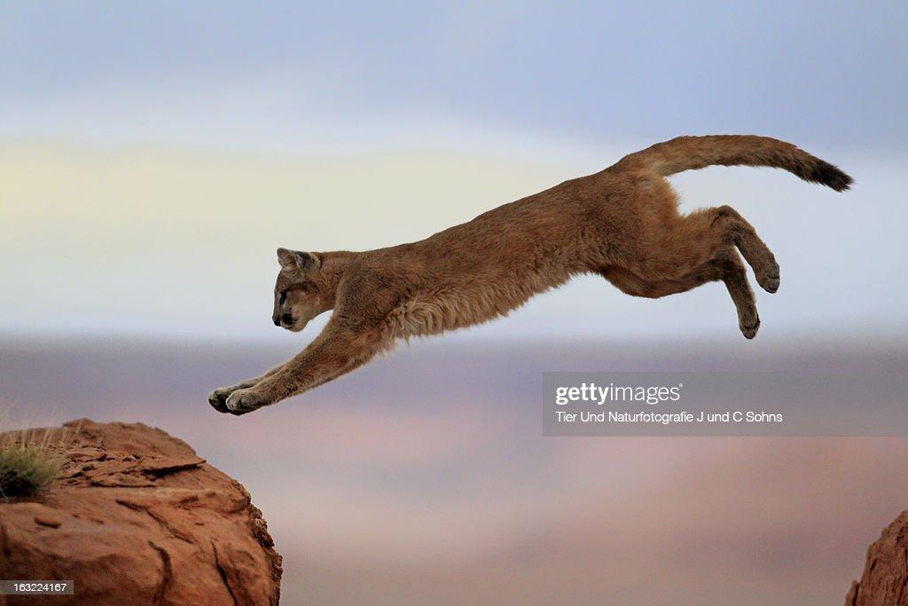 Mountain lion : Stockfoto