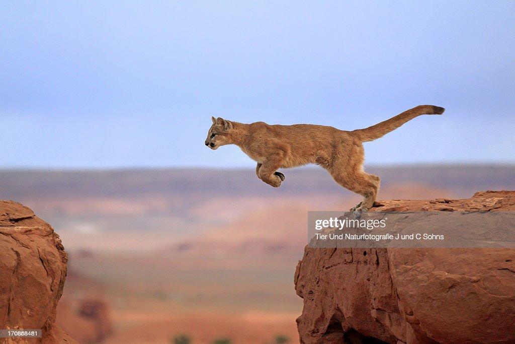 Mountain lion : Stock Photo