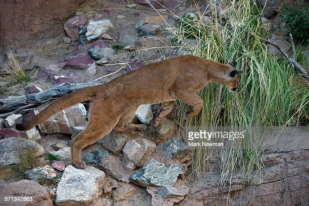 mountain lion - río swift fotografías e imágenes de stock