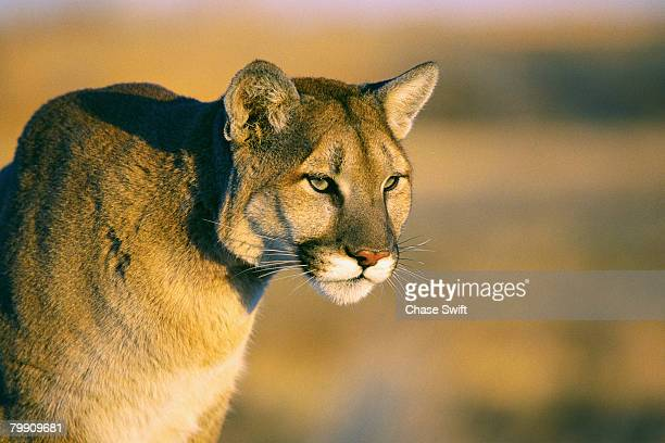 mountain lion - head of state stock pictures, royalty-free photos & images