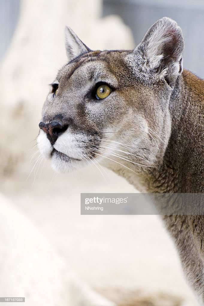mountain lion, Puma concolor, head : Stock Photo