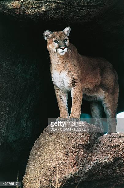 Mountain Lion Puma or Cougar Felidae