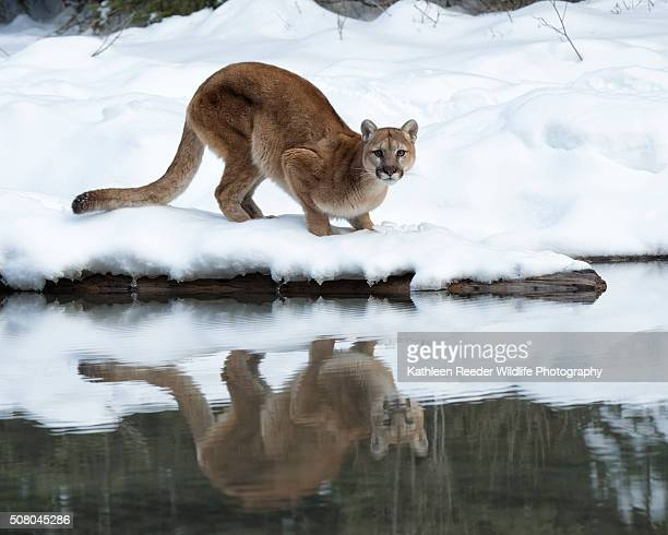 Mountain Lion Reflection