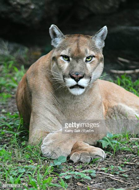 Mountain Lion Resting On Field