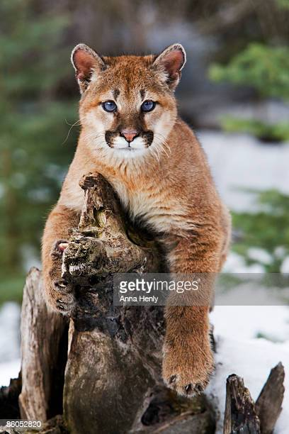 mountain lion resting on log - perching stock pictures, royalty-free photos & images