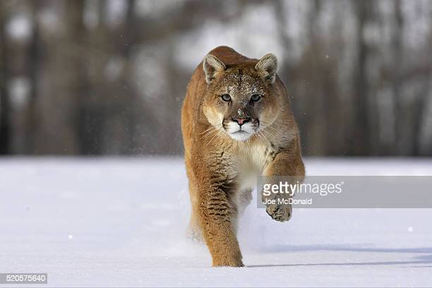 Mountain Lion Running Across Fresh Snow