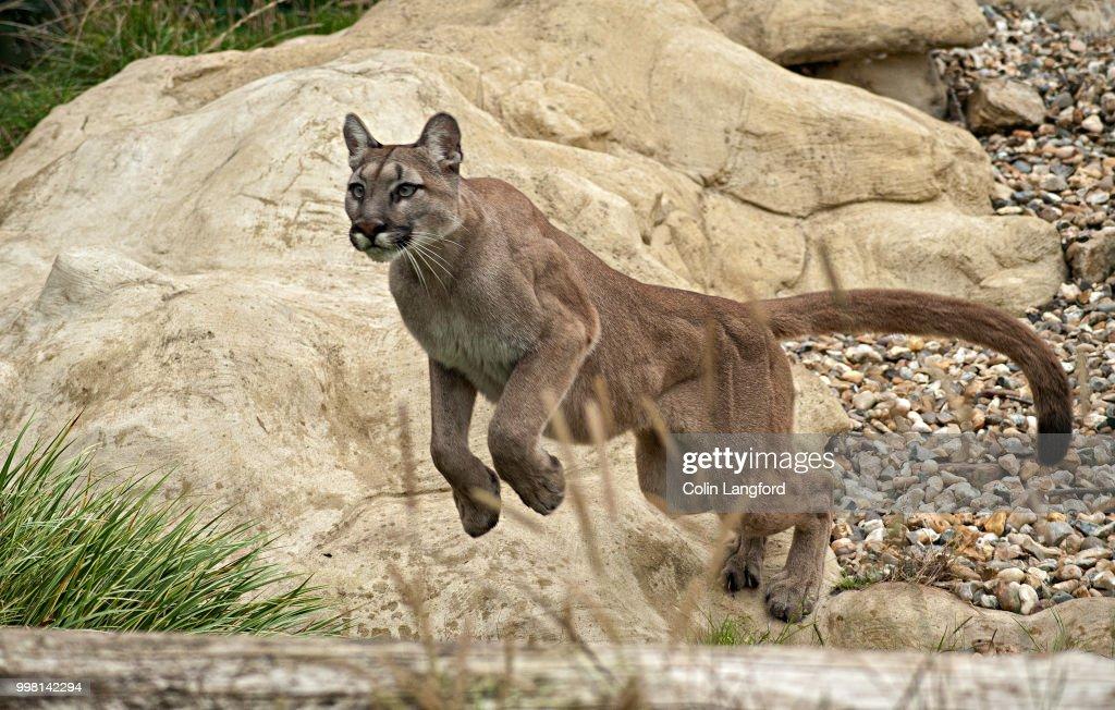 Mountain Lion Series : Stock Photo