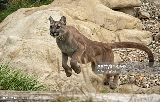 mountain lion series - puma stock photos and pictures