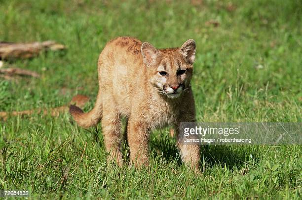 mountain lion (felis concolor), six months old, in captivity, sandstone, minnesota, united states of america, north america - lingering stock pictures, royalty-free photos & images