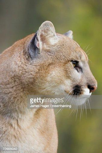 Mountain Lion Staring In Captivity Minnesota Wildlife ...