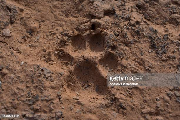 A mountain lion's paw print is embedded in the Cedar Mesa recently part of the new Bear Ears National Monument but no longer on December 30 2017 in...