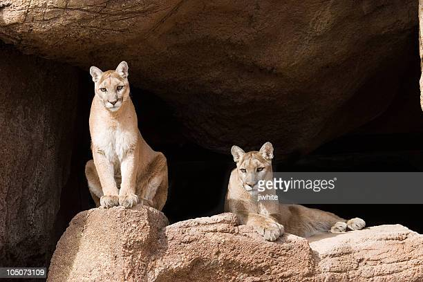 mountain lions (pumas) - puma stock photos and pictures