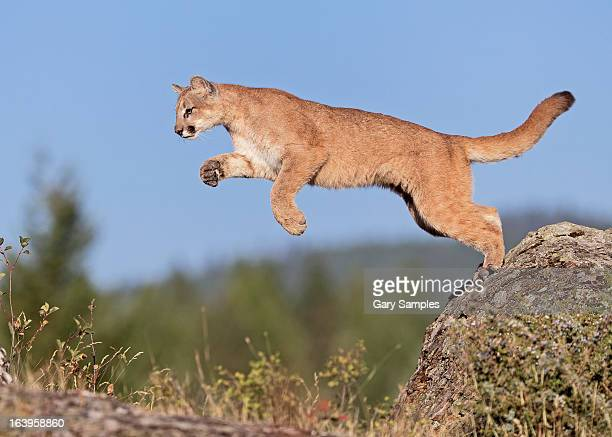 mountain loin - big cat stock pictures, royalty-free photos & images