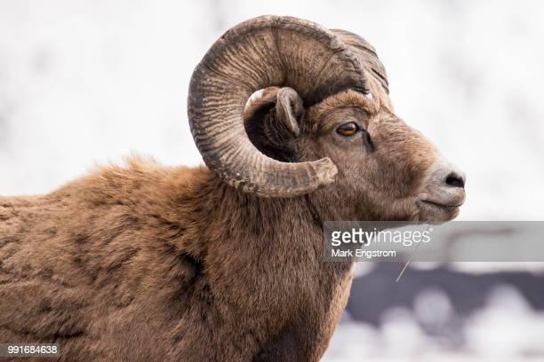 mountain majesty - mannetjesdier stockfoto's en -beelden