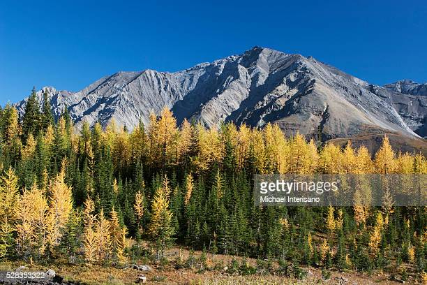 mountain meadow in the fall with golden larch trees and mountain in the distance with blue sky; alberta canada - larch tree stock pictures, royalty-free photos & images
