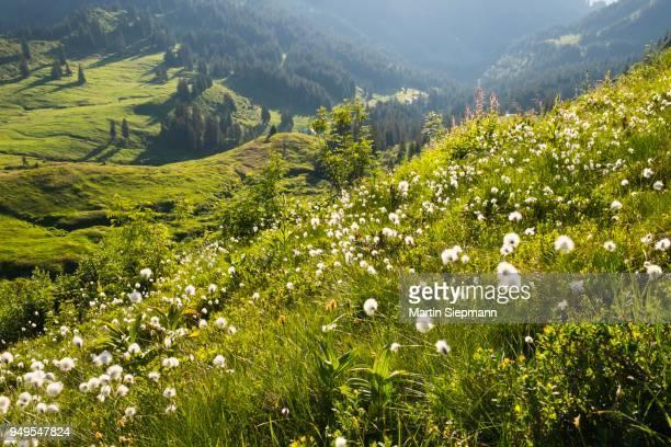 Mountain meadow with cotton grass, Riedbergerhorn, Allgaeu, Swabia, Bavaria, Germany