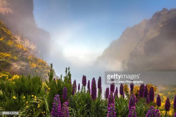 madeira, portugal - april 31, 2017: mountain of madeira, violet plants close to the fog - madeira island fotografías e imágenes de stock