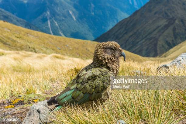 mountain parrot, kea (nestor notabilis) in the mountains, kepler track, fiordland national park, south island, new zealand - international landmark stock pictures, royalty-free photos & images