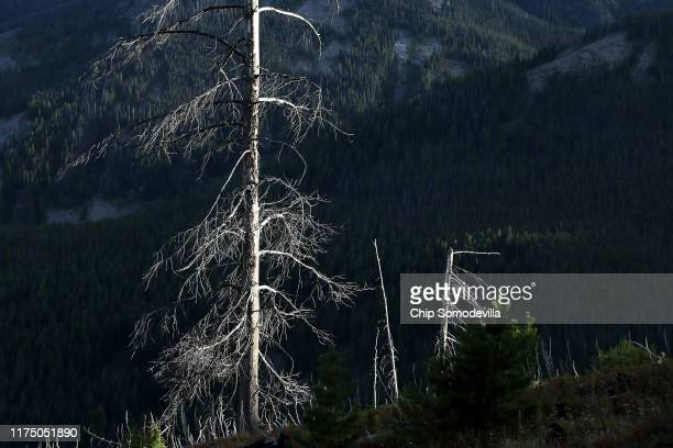 A mountain pine beetlekilled lodgepole pine tree rises like gray ghost along the Reservation Divide September 14 2019 on the Flathead Indian...