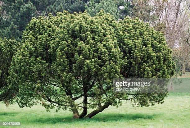 Mountain Pine or Spirke Pinaceae