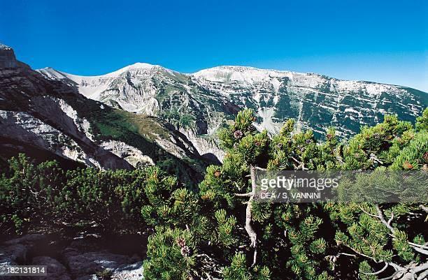 Mountain Pine trees Pinaceae Orfento valley Maiella massif Abruzzo Italy