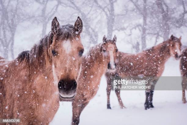 Mountain ponies stand in the snow at a farm in Llangollen north Wales on December 8 as Storm Caroline plunges temperatures across the UK / AFP PHOTO...
