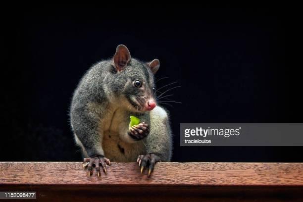 mountain possum (trichosurus caninus) - possum stock pictures, royalty-free photos & images