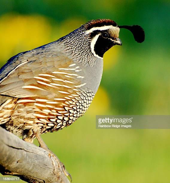 mountain quail - quail bird stock photos and pictures
