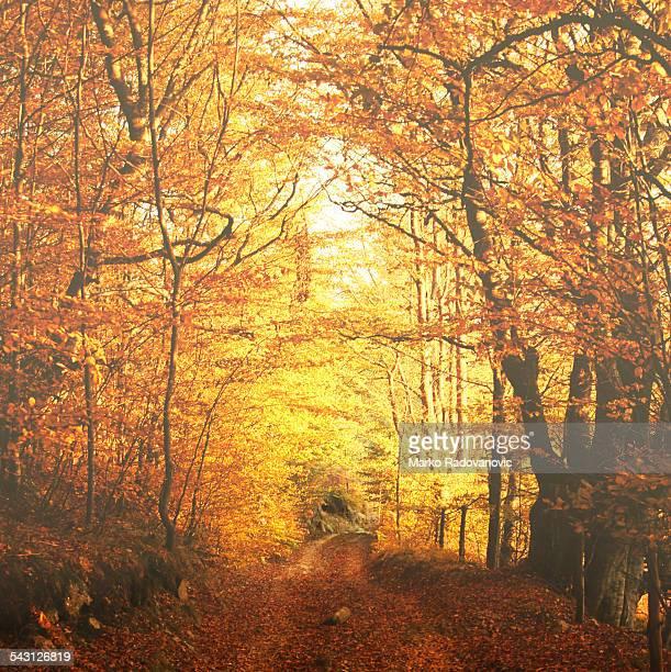 Mountain road through beech forest