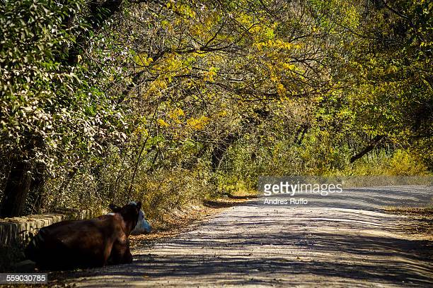 mountain road with herd of cows surrounded by tree - andres ruffo stock-fotos und bilder