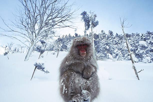 Mountain Snow Monkey - Nagano, Japan