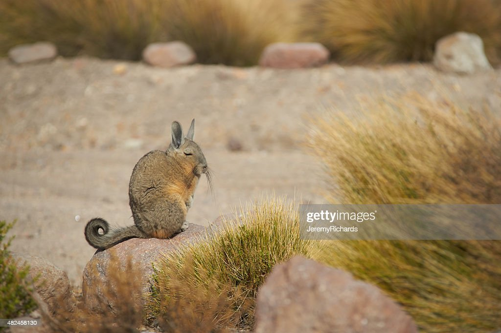 Mountain Viscacha : Stock Photo