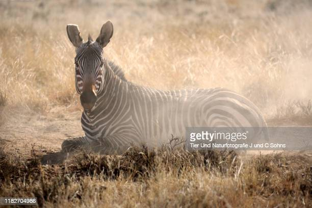 mountain zebra, (equus zebra), adult sand bathing, mountain zebra nationalpark, eastern cape, south africa, africa - nationalpark stock pictures, royalty-free photos & images