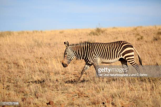 mountain zebra, (equus zebra), adult searching for food, mountain zebra nationalpark, eastern cape, south africa, africa - nationalpark stock pictures, royalty-free photos & images