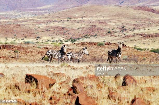 Mountain zebras in Damaraland ,Namibia
