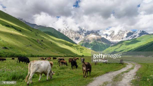 Mountainous landscape with black and white cows grazing, Georgia.