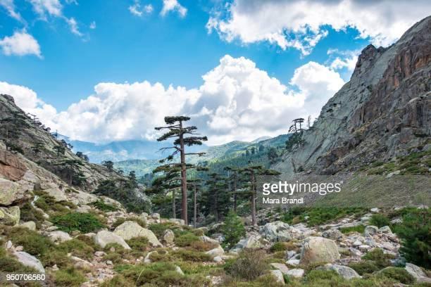 Mountainous landscape with pines, Golo Valley, Nature Park of Corsica, Parc naturel regional de Corse, Corsica, France