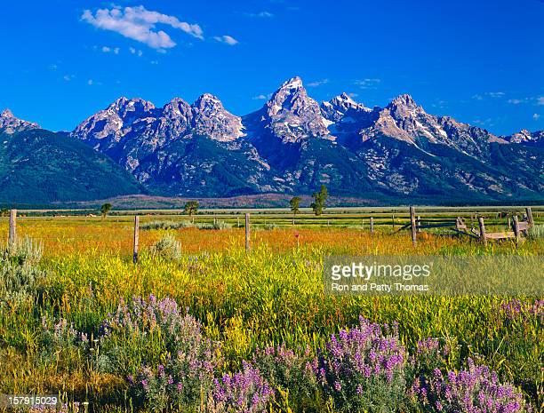 mountains and wildflowers at grand teton national park - jackson hole stock pictures, royalty-free photos & images