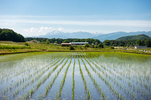 Mountains over Rice Fields with New Planted Seedlings - gettyimageskorea