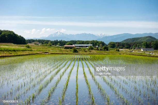 mountains over rice fields with new planted seedlings - rice paddy stock pictures, royalty-free photos & images