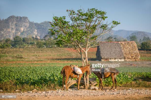 mountains, small house and horses in cuba - pinar del rio stock photos and pictures